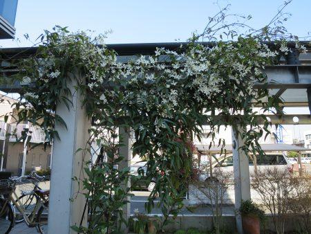 ▲ポーチに植えた鉄仙(テッセン)も白い花を咲かせています