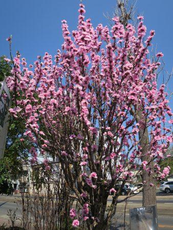 ▲この花が咲くと本格的に春が来たなと実感します
