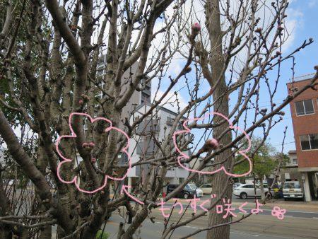 ▲会社の桃の花もピンクの蕾がふっくらしています