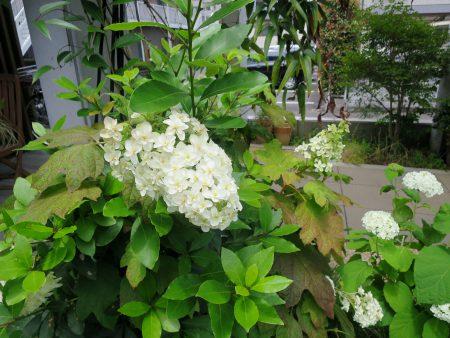 ▲白い装飾花が円錐状に咲くカシワバアジサイ。深い切れ込みのある葉の形が柏の葉に似ていることから、この名前が付いたとか