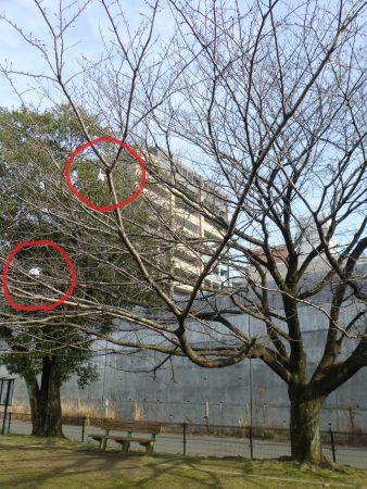 🐦まだ寒々しい姿ですが、公園内でもひときわ大きな桜の木。そこに白いものが2つ…?